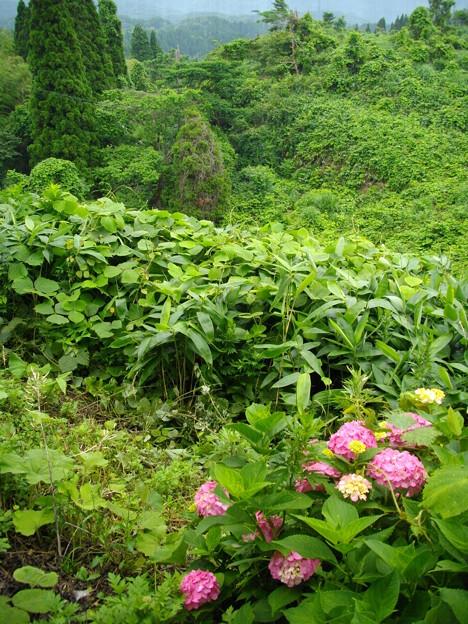 宮島緑の村~紫陽花アクセント