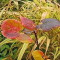 Photos: マルバノキの紅葉 IMG_7681