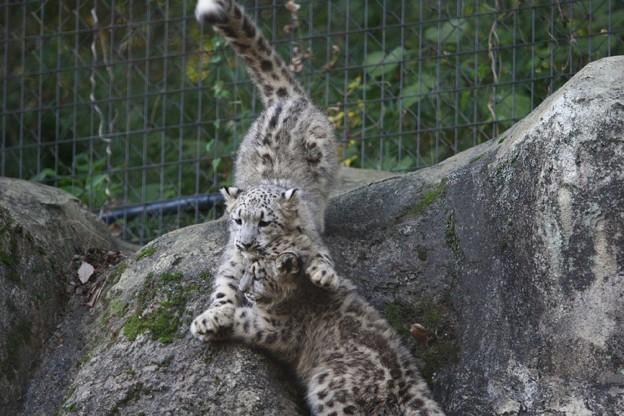 多摩動物公園111029-ユキヒョウの子供達 アサヒちゃん-01