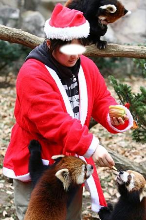 多摩動物公園111225-レッサーパンダ-27