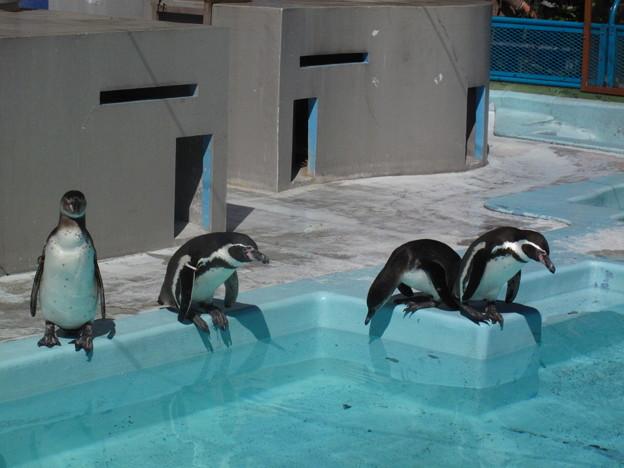 フンボルトペンギン(1)