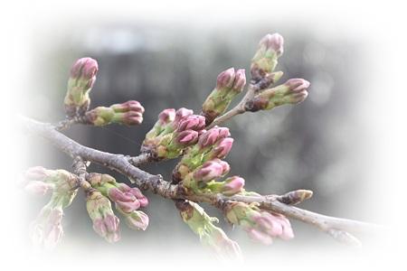 桜 (3)3
