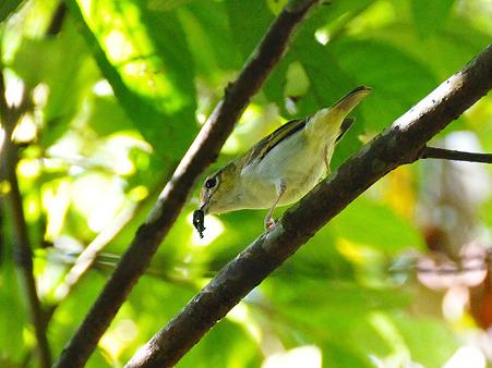 クリビタイモズチメドリ♀(Chestnut-fronted Shrike-babbler) DSC_7753_R