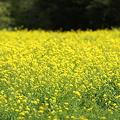 『春を告げる黄色』