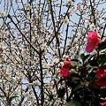 白梅と山茶花