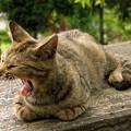 Photos: あくび猫