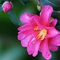 Photos: 庭の山茶花