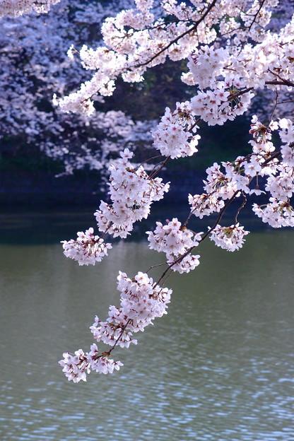 写真: 水面桜