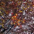 Photos: 紅葉葉楓 最後の紅葉 #1_103