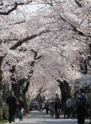 桜のトンネル(くだり)