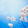Photos: 桜で一杯