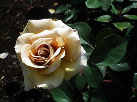 24智光山薔薇