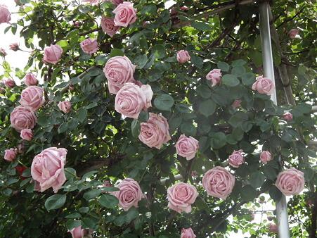 26智光山薔薇