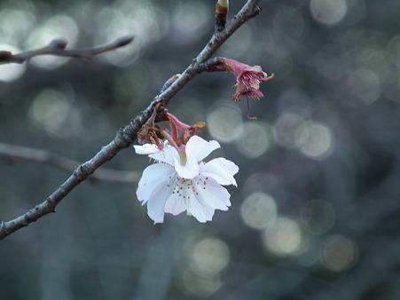 十月桜DSCF0713