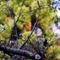 Photos: 秋から咲く不断桜