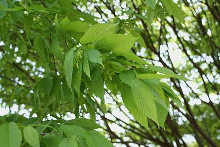 千鳥の木(チドリノキ)