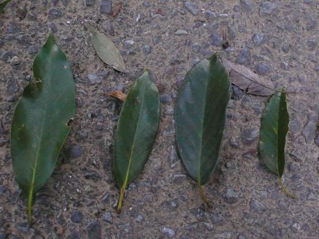 カシの葉4兄弟P1110699
