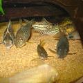 Photos: 20111029 60cmコリドラス水槽のコリドラス達