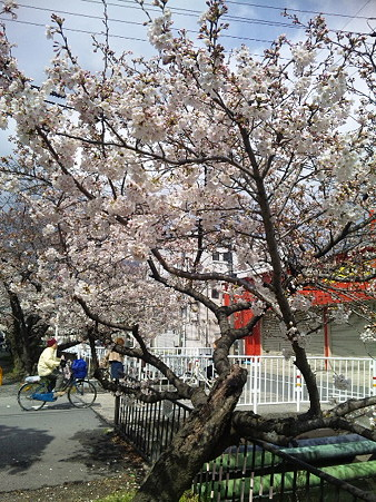 20120407 桜