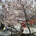 Photos: 20120407 桜