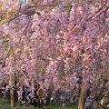 Photos: 舞鶴公園 桜