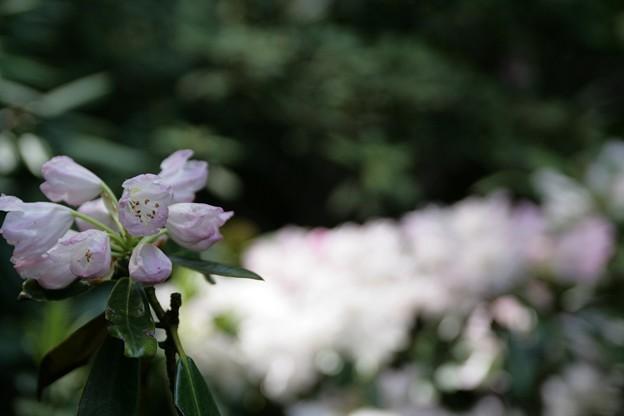 IMG_5451當麻寺・西南院・西南院庭園・石楠花