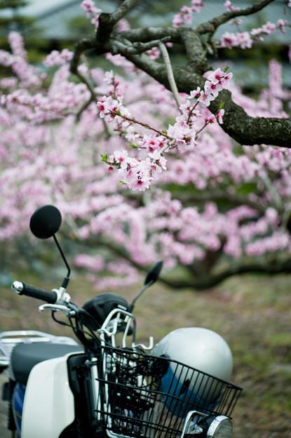 桃の花、カブを添えて