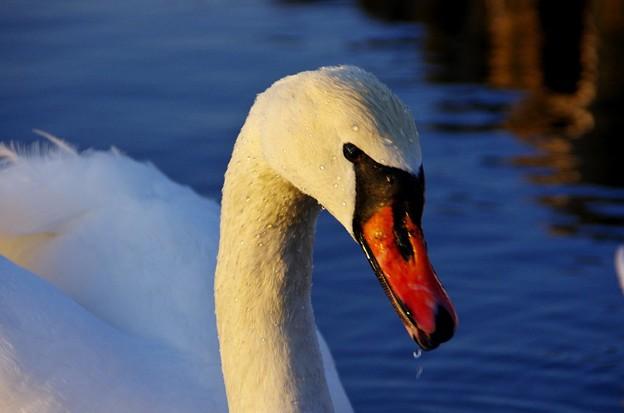 黄昏の湖 こぶ白鳥04