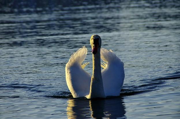 黄昏の湖 こぶ白鳥02