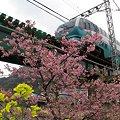 2012年3月7日 河津桜(3)
