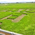 写真: 新潟市西蒲区大曽根の田んぼアート(1)
