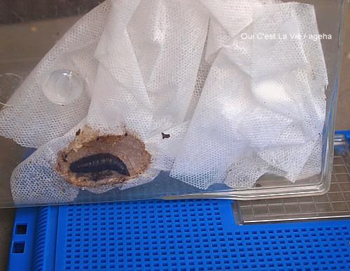Photos: 閲覧注意。オオスカシバ蛹&エイリアン的脱皮全貌。