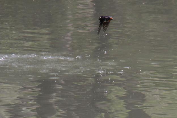 ツバメの吸水?