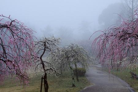 濃霧に咽ぶ枝垂れ紅白梅3
