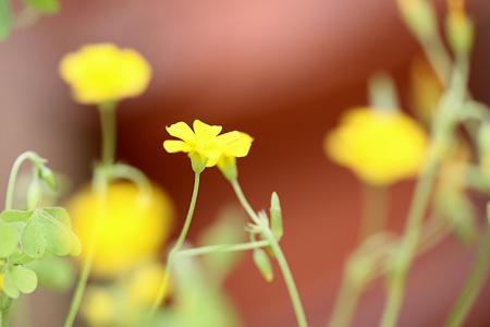 黄色のカタバミ