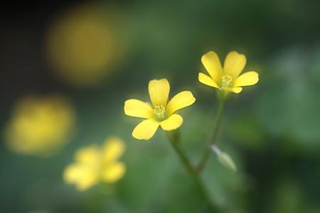 黄カタバミ