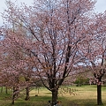 写真: 真駒内公園の桜