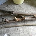 Photos: 杖制作用のびわの枝