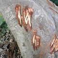 Photos: びわの木の幹に謎の傷