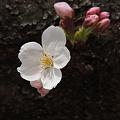 Photos: 胴吹き桜