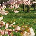 桜吹雪(ロンドン)