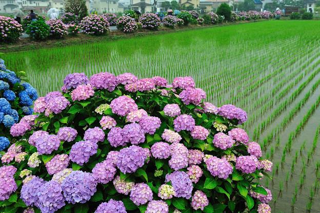 田園と紫陽花