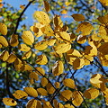 Witch-hazel 10-16-11