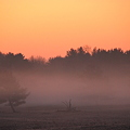 The Pine Trees in the Dawn Mist