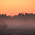 写真: The Pine Trees in the Dawn Mist