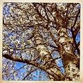A Pear Tree 4-19-12