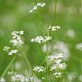 Northern Bedstraw 6-16-12