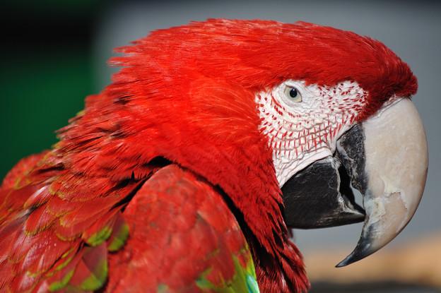 動物園の野生達 ベニコンゴウインコ