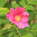 合浦公園・ハマナスの花01-12.07.04