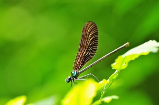 Photos: 翅の輝き。